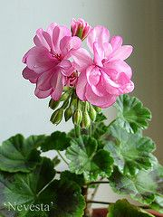 Nevesta KLOROFYLLI • katso viestiketjua - Pelargonium - Pelargonit