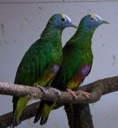 Lilakap Vruchtenduiven paar. Ptilinopus Coronulatus.