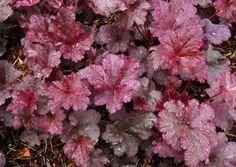 Heuchera 'Midnight Rose' - Terra Nova Nurseries