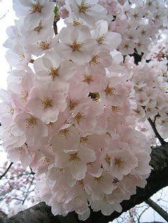 今年の桜 | 去年もこの桜の木を撮影しました↓ www.flickr.com/photos/arty-/12987567… | Flickr