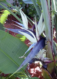 blue & white strelizia -- bird of paradise -- not as showy as the orange but strange and beautiful in its own way