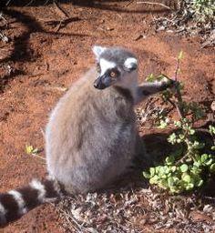 Africa Exclusive - 404 not found Lemur, African Safari, Madagascar, Wildlife, Animals, Inspiration, Explore, Beautiful, Biblical Inspiration