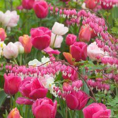 """Tulipes et Cœur de Marie dans un mélange """"Happy"""""""