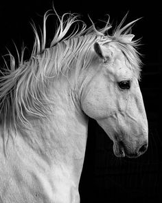 Cool horse head. Black and white horse photography. tordo