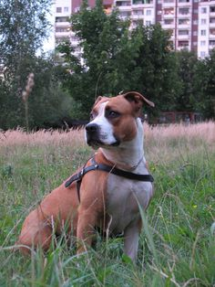 """American Staffordshire Terrier - this looks like my Rocko """"baby"""" that we just lost to a brain tumor!! <3 you sweet boy!!!!"""