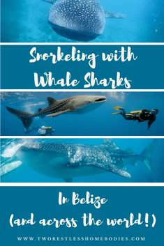 Swimming with whale sharks in Belize and across the world - Two Restless Homebodies