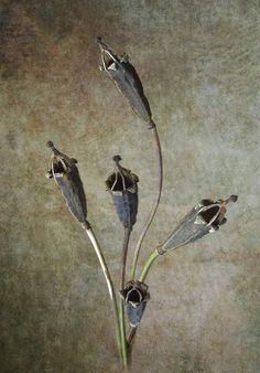 Poppy Seed Cases