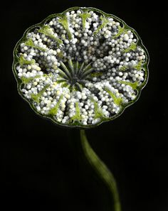 Cross-section of poppy capsule