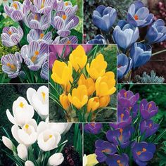 Breck's - Giant Dutch Crocus bulbs, 8-9 cm, produce big, bright, long-lasting flowers early in the spring - just after the smaller snow crocus varieties.    Crocus vernus   This collection includes 20 each of: Flower Record  Pickwick  Yellow Mammoth  Remembrance  Jenne d'Arc.