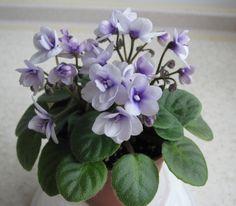 Amadie Trail (M. Perennial Flowering Plants, Herbaceous Perennials, Saintpaulia, Miniature, Live Plants, My Flower, Pansies, Houseplants, Indoor Plants