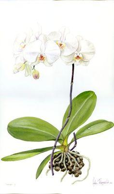 DVD 8: Botanical illustration volume 4   Helen Fitzgerald - Botanical & Wildlife artist   Helen Fitzgerald