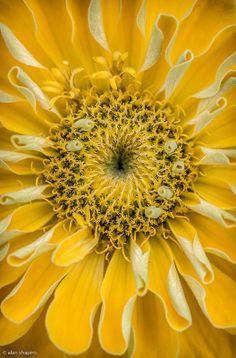 Yellow Zinnia by Alan Shapiro
