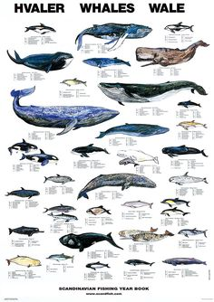 whale = la ballena [bah-ee-eh=nah] or [bah-YEH-na] :) Whales Hvaler Wale ~ Marine Life Charts from Scandinavian Fishing Year Book (many other charts there!) via Remodelista Orcas, Save The Whales, Kinds Of Whales, Kunst Poster, Ocean Creatures, Killer Whales, Sea World, Ocean Life, Under The Sea