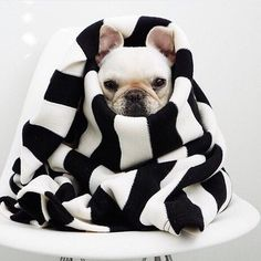 Adorable French Bulldog Puppy, Polly and Piggy instagram, by vestidos_efashionstyle