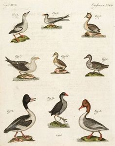 BERTUCH, Friedrich Justin. Ducks and Gulls #engraving #colour #birds #naturalhistory