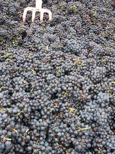 Beaujolais Grape Harvest 2013