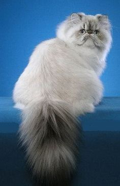 White Fluffy Cat with Gray Mustache