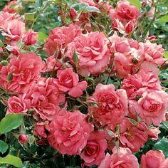 Rosa: Electric Blanket Rose 2 Gallon