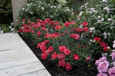 Shade Garden Flowers And Decor Ideas Dianthus 'Rosebud' Fragrance and Color For Entertainment Areas Containers Small Gardens Or Spaces Edging For Pathways Or Gardenbeds General Garden Use Cut Flower For Posies Rockeries Mixed Border, African Lily, Border Plants, Replant, Can Lights, Different Plants, Small Gardens, Petunias, Carnations