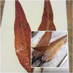 """Recent experiments of differentleaves on different papers......     Mogi, """"mum has made a eco print book for her ref.""""      A little j..."""