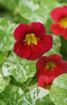 Nasturtium 'Kiki Kiss': This beautiful plant is not only gorgeous to look at, it's great for pest control too. Here's how to use it to deter pests: http://www.gardenersworld.com/blogs/plants/growing-nasturtiums/4597.html Photo by Jason Ingram
