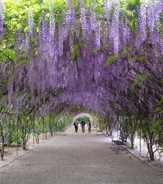 Lovely shot of the Wisteria tunnel by Wisteria Tunnel, South Australia, Sidewalk, Country Roads, Purple Garden, Landscapes, Photography, Paisajes, Scenery