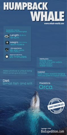 Humpback Whale Facts #Infographic