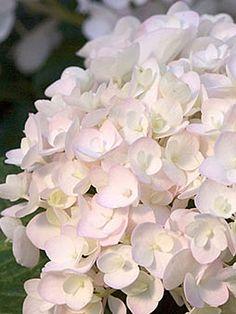 Blushing Bride Hydrangea   Gardeners.com