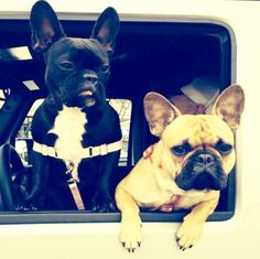 French Bulldogs on the road again❤️