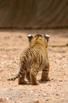 Baby tiger.