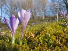 Crocuses Nature, Plants, Flora, Plant, The Great Outdoors, Mother Nature, Planting, Scenery, Natural