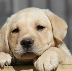 He is shoo cute how many of you agree?? #collarbuddies #Labrador_pictures…
