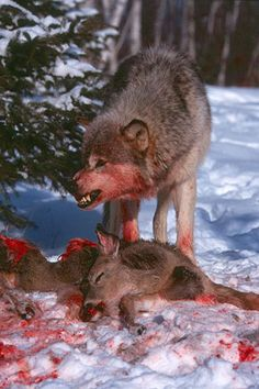 wolves feeding on sheep - Google Search