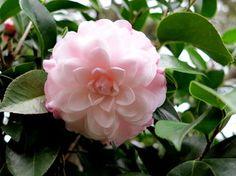 Stephen's Garden from Green Nurseries - CAMELLIAS