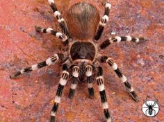 Acanthoscurria geniculata not yet mine but am definitely geting this on munday:D