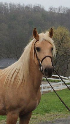 6yr old Palomino Pony 14H for sale in Northampton, Pennsylvania, United States of America :: HorseClicks