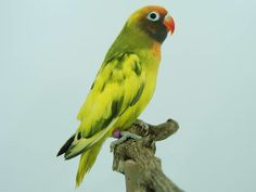 The black-cheeked lovebird (Agapornis nigrigenis) is a small parrot species of the lovebird genus. Description from snipview.com. I searched for this on bing.com/images