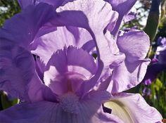 Purple Iris @ NYC