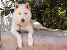 Husky - Dexter from Costa Rica