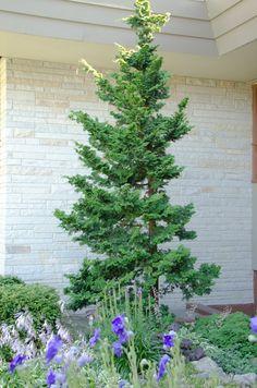 Hinoki cypress (chamaecyparis obtusa) eachlittleworld.typepad.com