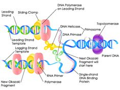 DNA Replication - Biology101 Study Guide