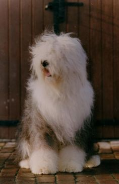 Old English Sheepdog CHARLIE <3  Charlie lived up the road, he used to sit at the gate at end of the school day and accept all sorts of love from every child walking home from school. It was the traditonal end to our school day. One of the loveliest dogs I have ever known.   Beautiful old boy <3