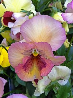 pansy lavender Wonderful Flowers, My Flower, Flower Art, Beautiful Flowers, Cactus Flower, Exotic Flowers, Purple Flowers, Johnny Jump Up, Flower Pictures