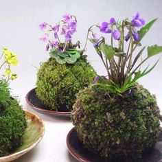 "Surprise your customers by presenting your plants ""Kokedama-style""; Japans most popular technique. Kokedama is a Japanese Bonsai-style and Japanese term for moss balls as well. Air Plants, Garden Plants, Indoor Plants, House Plants, Hanging Plants, Indoor Herbs, Aquatic Plants, Shade Plants, Cactus Plants"