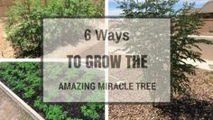 6 Ways To Grow The Amazing Miracle Tree