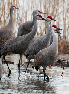 Sandhill_cranes | Sandhill cranes in the Platte River at Row… | Flickr
