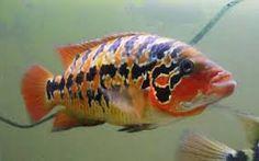 Red tiger motaguense cichlid