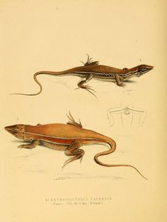 Illustrations of the zoology of South Africa. v.3. London :Smith, Elder and Co.,1838-1849.
