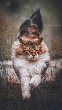 Here Kitty Kitty, Kitty Cats, Cat Pin, Maine Coon Cats, Islamic Pictures, Dog Photography, Animals Beautiful, Dog Cat, Wildlife