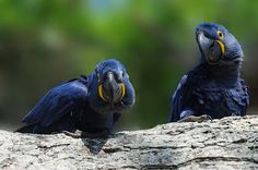 Blue Macaw   Flickr - Photo Sharing!